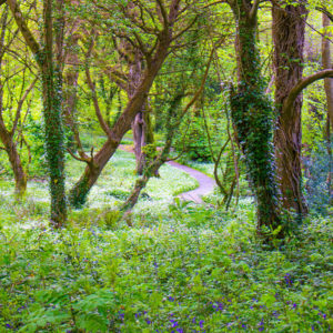The wooded area of the Ballyseedy Wood Walk dates back at least to the 16th century when it is was first mapped for Sir Edward Denny.