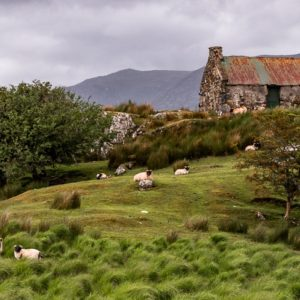 An old derelict cottage with some sheep grazing on the Connemara hills.