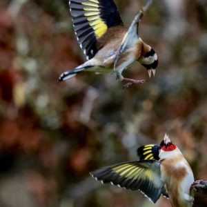 Two European Goldfinchs - The average European Goldfinch is 12-13cm long with a wingspan of 21 - 25 cm.