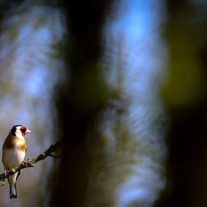 The European Goldfinch - Males and females are very similar